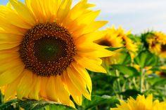 Sunflowers Sunflowers, Fruit, Plants, Plant, Sunflower Seeds, Planets