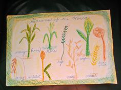 grains of the world - 3rd grade farming unit.  Note cursive use.