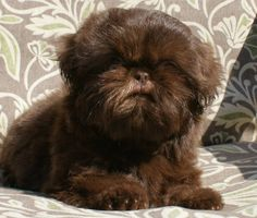 Chocolate Chinese Imperial Shih Tzu