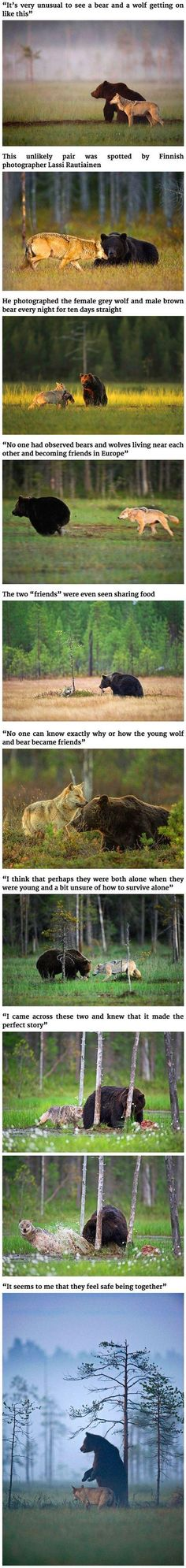 Wildlife: Unusual Friendship Between Wolf And Bear. Photography Wildlife: Unusual Friendship Between Wolf And Bear.,Photography Wildlife: Unusual Friendship Between Wolf And Bear. Cute Funny Animals, Funny Cute, Beautiful Creatures, Animals Beautiful, Beautiful Beautiful, Beautiful Pictures, Animals And Pets, Baby Animals, Nature Animals