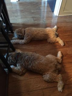 """Aren't these the cutest """"throw rugs"""" 😂 Animals And Pets, Baby Animals, Cute Animals, Wheaton Terrier Soft Coated, Goldendoodles, Labradoodles, Doggies, Dogs And Puppies, Hypoallergenic Dog Breed"""