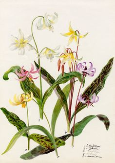 Lilian Snelling -- Erythronium varieties -- Lilian Snelling -- Artists -- RHS Prints