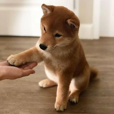 54 Ideas Dogs And Puppies Breeds Shiba Inu, Chien Shiba Inu, Cute Baby Animals, Funny Animals, Shiba Puppy, Akita Inu Puppy, Pomeranian Puppy, Cute Dogs And Puppies, Shiba Inu Puppies, Puppy Breeds