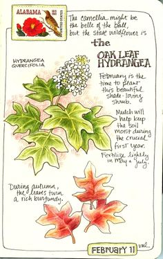 moleskine-oakleafhydrangea by, Val Web. Nature, journal, sketchbook, notebook, dairy, words and images, drawing.