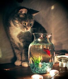 Silly Cats, Cute Cats, Funny Cats, Pretty Cats, Beautiful Cats, Happy Birthday Kitten, Funny Emoticons, Fish Art, Goldfish