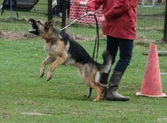 A fear-aggressive german shepherd female lashes out to a dog, who walked by. The ears are sideways, the corners of the mouth are as far back as they come, teeth are bared. At the moment of the attack, her tail came a bit higher up (it was between legs).