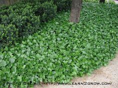 English ivy is a good ground cover underneath trees for Best low growing groundcover for full sun