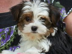 Our new Parti Yorkie!