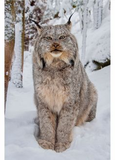 Canada Lynx in its thick winter coat.