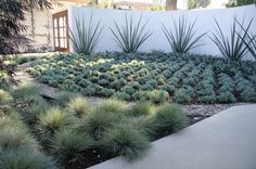 Magestic furcraea macdougalli lines the wall to anchor this blue Southern California garden. Festuca glauca (shown in the foreground) quickly grows big and bushy, adding a beachy feel to an otherwise desert garden -- contemporary landscape by ecocentrix landscape architecture