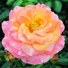 #Orange #pink #Flower #Flowers #Plant #Plants #Pretty #Beauty #Beautiful #Outside #Nature #MotherNature #Green