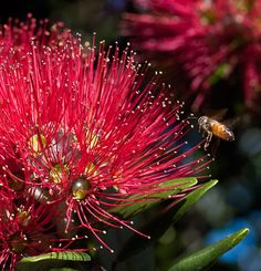 Pohutukawa tree in flower (The flowers are always welcome, for New Zealanders they are a sign of Christmas)