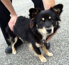 #A475638 Release date 11/18 I am a male, black Welsh Corgi - Pembroke mix. Shelter staff think I am about 1 year old. I have been at the shelter since Nov 11, 2014. City of San Bernardino Animal Control-Shelter. https://www.facebook.com/photo.php?fbid=10203928722996024&set=a.10203202186593068&type=3&theater