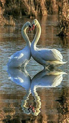 Swans Reflection Schwanensee Enten Tierbilder Herz Zeichnen Vogel Bilder