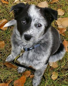 Border Collie x Blue Heeler mix. oh my word cutest puppy everr...imagine the destruction though. and the herding. OMG! It's a baby Butchie!!!!