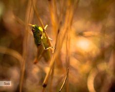 Grasshopper by Jack Benson on 500px