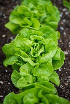 MATINA SWEET LETTUCE (50 days) - Pinetree Garden Seeds - Vegetables  - 1