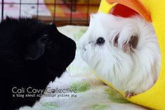 "It's never too late to introduce a single guinea pig to a new friend. Tip: If you're unsure about the bonding process, bring your cavy to a rescue for personalized piggy ""play dates"". Baby Guinea Pigs, Guinea Pig Care, Baby Pigs, Classroom Pets, Pet Corner, Dog Care, Archie, Beautiful Horses, Alice"