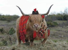 highland games-this one is funny. All Highland coos dress this way when the toorists are away hame. Scottish Highland Cow, Highland Cattle, Scottish Highlands, Highlands Scotland, Highland Games, Scotch, Farm Animals, Cute Animals, Fluffy Cows