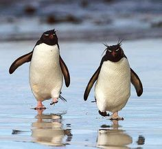 Rockhopper Penguin Pictures, Good pictures and facts on Rockhopper ...
