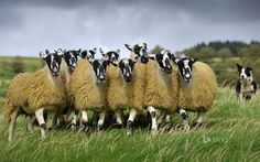 Sheep with a border collie in England  (© Heinz Wohner