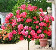 Bán cây hoa hồng tree rose, hồng cổ tuyệt đẹp
