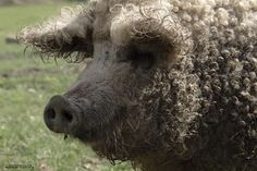 Mangalitsa pigs | label pig in austria pig in hungary pigs body growing wool weird pig ...