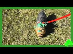Happy Saint Patrick's Day!!! Featuring adorable dogs searching for a pot o' gold. From your friends at Chicago Pet Video http://www.chicagopetvideo.com