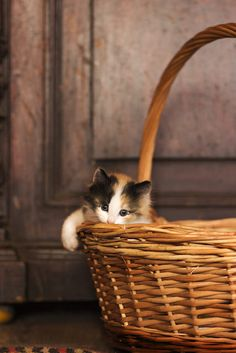 Calico kitten…