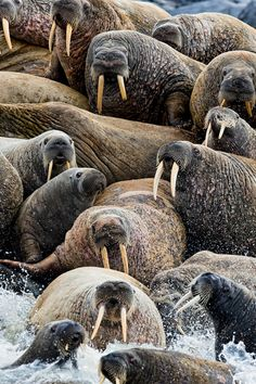 Walrus Rush (by Michael Poliza)