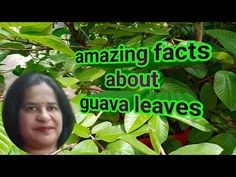 Medicinal benefits of guava leaves/Health benefits of guava leaves. - YouTube Guava Benefits, Health Benefits, Guava Leaves, Medicinal Plants, Agriculture, Fun Facts, Medicine, Youtube, Healing Herbs