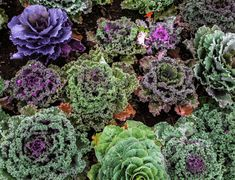 Kale Grow Guide: Planting, growing, and harvesting kale in the garden: plus tips from The Old Farmer's Almanac. Bean Plant, Harvesting Kale, Old Farmers Almanac, Bean Seeds, Kale Soup, Hardy Plants, Little Plants, Companion Planting, Gardens