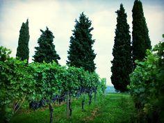 The La Poja Vineyard, September, 2014.  Valpolicella, Italy