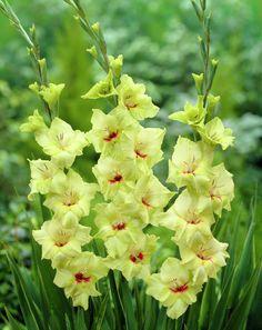 green gladiolus - Google Search