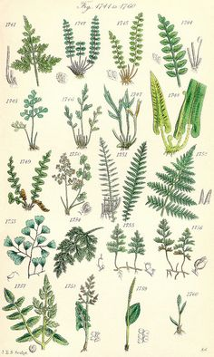 """Pteridomania: the Victorian fern craze probably from 1837 to early A magnificent solarium in a Victorian home with ferns and palms. I caught the fern """"illness"""" years ago. Illustration Botanique, Plant Illustration, Botanical Illustration, Vintage Botanical Prints, Botanical Drawings, Botanical Art, Design Jardin, Art Plastique, Art Inspo"""
