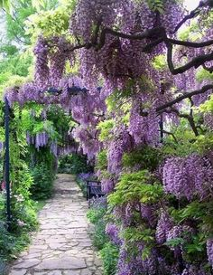 I love the colour and look of this Wisteria.  Could it be used as a focus tree in the corner - Japanese style garden?