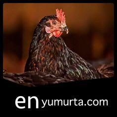 köy tavuk sipariş