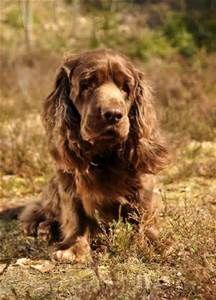 Sussex Spaniel. | Dog Love | Pinterest