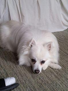 german spitz pomeranian mix | American Eskimo Pomeranian ...