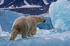 The acclaimed Canadian photographer and polar biologist has encountered thousands of bears while on assignment for National Geographic. Pictured a polar bear steps out of the water at Leiftafiord in the Arctic Polar Bear Hunting, Polar Bears, Polar Bear Images, Ancient Astronomy, Mammoth Tooth, Polaroid, Marine Ecosystem, National Geographic Photos, Secret Life