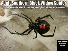 In the photo here you have a photo of a Southern Black Widow Spider showing the distinctive hour glass shape on her abdomen. The females can be easily identified.