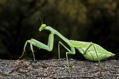 Praying Mantis Perched On A Tree Photograph - Praying Mantis Perched On A Tree Fine Art Print