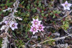 Kalmia procumbens (formerly Loiseleuria procumbens) trailing azalea, alpine…