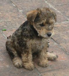 Westie Dog For Sale Wales