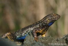 Certain #Lizards #kill #Lyme disease causing #bacteria #Sceloporus_occidentalis ...For further reading, please see: 1) California Academy of Sciences. (2001).  Lizards that Fight Lyme Disease. 2) California Herps. (n.d.). Distribution of Western Fence Lizard – Sceloporus occidentalis in California showing current subspecies. 3) Russell, Sabin (1998). Lizards Slow Lyme Disease in West / Ticks bite them — and leave with purified blood.  San Francisco Chronicle. 4) Scalise, Kathleen. (1998)…