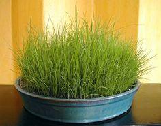 Indoor grass