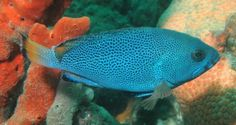 Epinephelus cyanopodus - Purple Rockcod