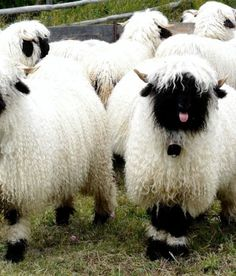 Valais Blacknose Sheep Are the OMGWTF Kind of Cute