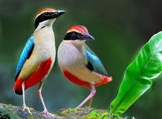 Fairy Pitta (Pitta nympha). This pitta breeds in Japan, South Korea, mainland China and Taiwan, is a migrant in Thailand and winters mainly on the island of Borneo