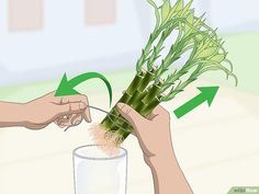 Indoor Garden Design How to Propagate Lucky Bamboo: 14 Steps (with Pictures) - wikiHow Small Bamboo Plants, Indoor Bamboo Plant, Bamboo Plant Care, Snake Plant Care, Indoor Garden, Chinese Bamboo Plant, Lucky Bamboo Care, Lucky Plant, Bamboo Crafts